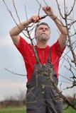 Mannbeschneidungsbaum im Obstgarten Stockbilder