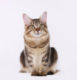 Manne Coon Brown Tabby Cat Fotografie Stock