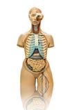 Mannelijk anatomiemodel op wit Royalty-vrije Stock Fotografie