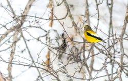 Mannelijk Avondgrosbeak Vogel het Vieren Nieuwjaar door Minus Vijfentwintig Graden van Celsius Stock Fotografie