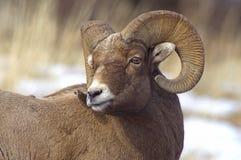 Mannelijk Bighorn Royalty-vrije Stock Foto's