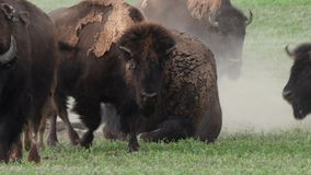 Mannelijk Bison Breathes Heavily While Sitting stock footage