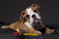 Mannelijk buldogpuppy Royalty-vrije Stock Foto's