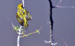 Mannelijk Dorp Weaver Bird - Oostelijke Kaap, Zuid-Afrika Royalty-vrije Stock Fotografie