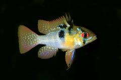 Mannelijk Duits Ram Tropical Fish Isolated op Zwarte Stock Afbeeldingen