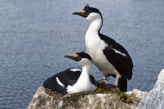 Mannelijk en vrouwelijk blauw-eyed Antarctisch pluizig laken bij het nest in colo Stock Foto