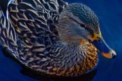 Mannelijk falcate Teal Duck stock foto's