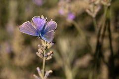 Mannelijk Gemeenschappelijk blauw/de vlinder van Polyommatus Icarus Stock Foto's
