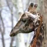 Mannelijk Girafportret Royalty-vrije Stock Afbeelding