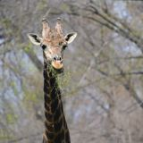 Mannelijk Girafportret Stock Afbeelding