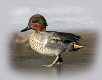 Mannelijk Green-Winged Teal Duck Royalty-vrije Stock Fotografie