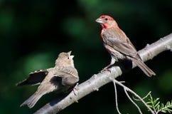 Mannelijk Huis Finch Feeding zijn Jongelui stock afbeelding