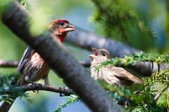 Mannelijk Huis Finch Feeding zijn Jongelui stock fotografie