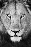Mannelijk Leeuw (Panthera-leo) portret Stock Afbeelding