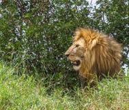 Mannelijk leeuw-Panthera leoprofiel in de weiden van Afrika royalty-vrije stock fotografie