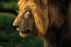 Mannelijk leeuw zijportret royalty-vrije stock foto