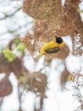 Mannelijk Lesser Masked Weaver Bird die een nest in Zuid-Afrika bouwen stock afbeeldingen