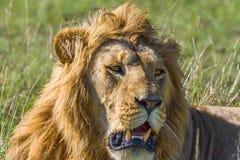 Mannelijk Lion Panting Stock Afbeelding