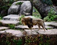 Mannelijk Lion Peering Over een Richel stock afbeeldingen
