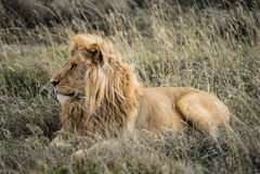 Mannelijk Lion Profile Royalty-vrije Stock Afbeeldingen