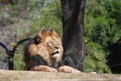 Mannelijk Lion Resting Under een Boom in een Dierentuin Stock Afbeeldingen