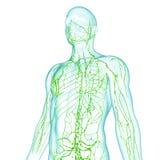 Mannelijk Lymfatisch systeem vector illustratie