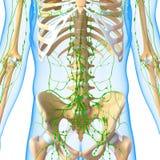 Mannelijk Lymfatisch systeem met skelet stock illustratie