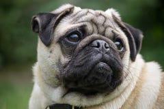 Mannelijk Pug hondras Royalty-vrije Stock Foto's