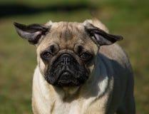 Mannelijk Pug puppy Stock Foto's