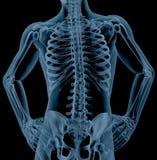 Mannelijk skelet Stock Foto
