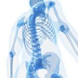 Mannelijk skelet Royalty-vrije Stock Foto's