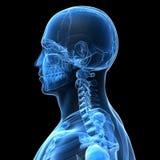 Mannelijk skelet Stock Foto's