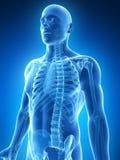 Mannelijk skelet Stock Afbeelding