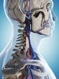 Mannelijk skelet en vasculair systeem royalty-vrije illustratie