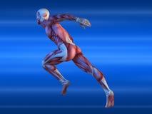 Mannelijk spiermodel Stock Afbeeldingen