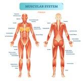 Mannelijk spiersysteem, volledig anatomisch lichaamsdiagram met spierregeling, vectorillustratie onderwijsaffiche royalty-vrije illustratie