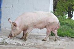 Mannelijk varken stock afbeeldingen