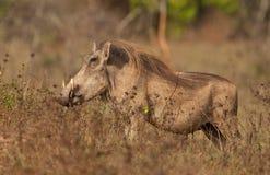 Mannelijk Wrattenzwijn Stock Fotografie