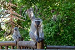 Mannelijke aap, ongeveer aan geeuw, die op houten dek zitten stock fotografie