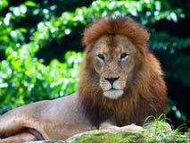 Mannelijke Afrikaanse Leeuw Royalty-vrije Stock Fotografie