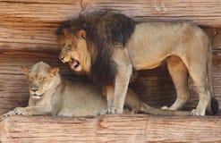 Mannelijke Afrikaanse Leeuw die bij Zijn Partner gromt Royalty-vrije Stock Foto's