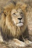 Mannelijke Afrikaanse Leeuw (leo Panthera) Zuid-Afrika Stock Foto