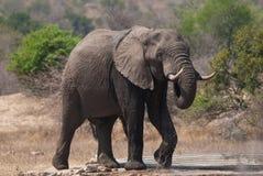 Mannelijke Afrikaanse Olifant royalty-vrije stock foto