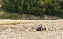 Mannelijke Afrikaanse struisvogel in nestzitting op de eieren tot zij uitbroeden stock afbeelding