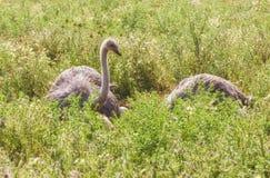 Mannelijke Afrikaanse struisvogel in nestzitting op de eieren tot zij uitbroeden stock fotografie