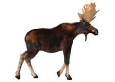 Mannelijke Amerikaanse elanden Royalty-vrije Stock Foto's