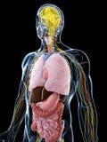 Mannelijke anatomie vector illustratie