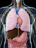 Mannelijke anatomie Stock Foto's