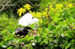 Mannelijke Anhinga op tak voedende kuikens in nest stock foto