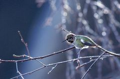 Mannelijke Anna' s kolibrie royalty-vrije stock afbeelding